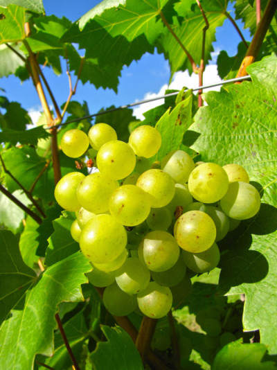 Growth spurt for Australian grapes in the Asian market