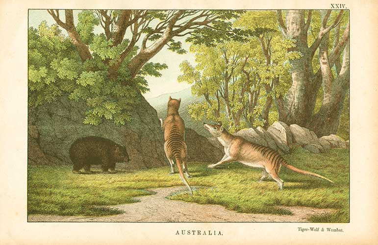 Back from the Brink: Is the Tassie Tiger alive and kicking?