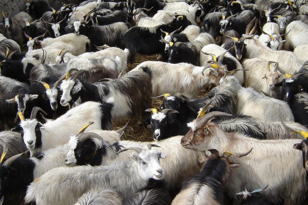 Off the Goat's Back: Goat Meat Prices Soar Amid Tough